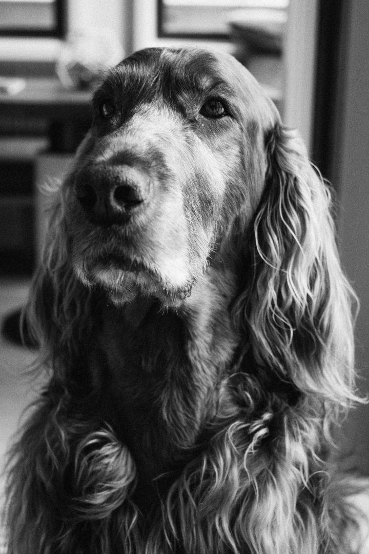 Irish Setter, Helio, in black and white.