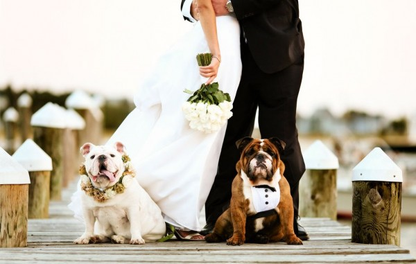 Two English bulldogs posing with their owners at their wedding