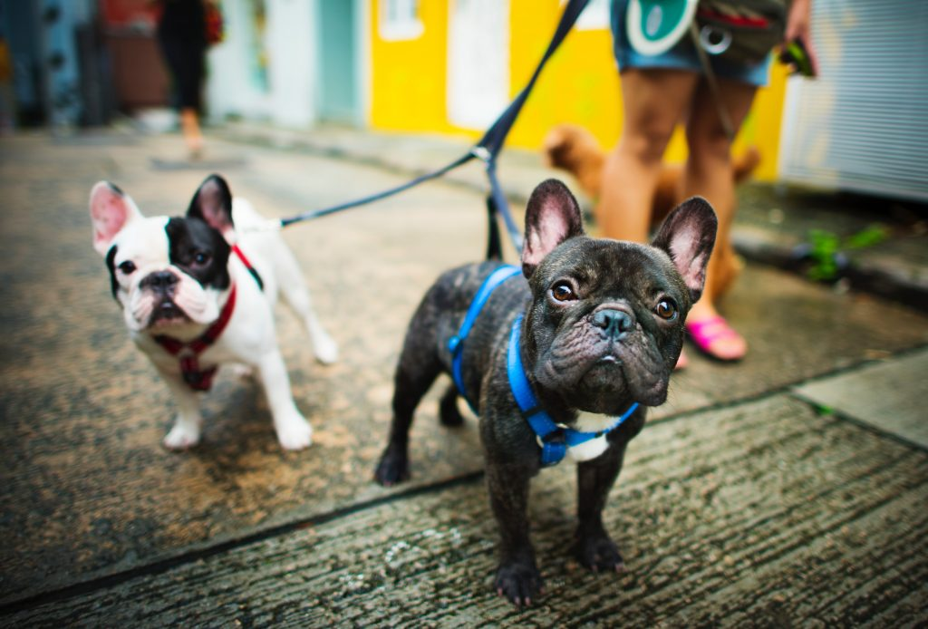 Two French bulldogs being walked by dog walker