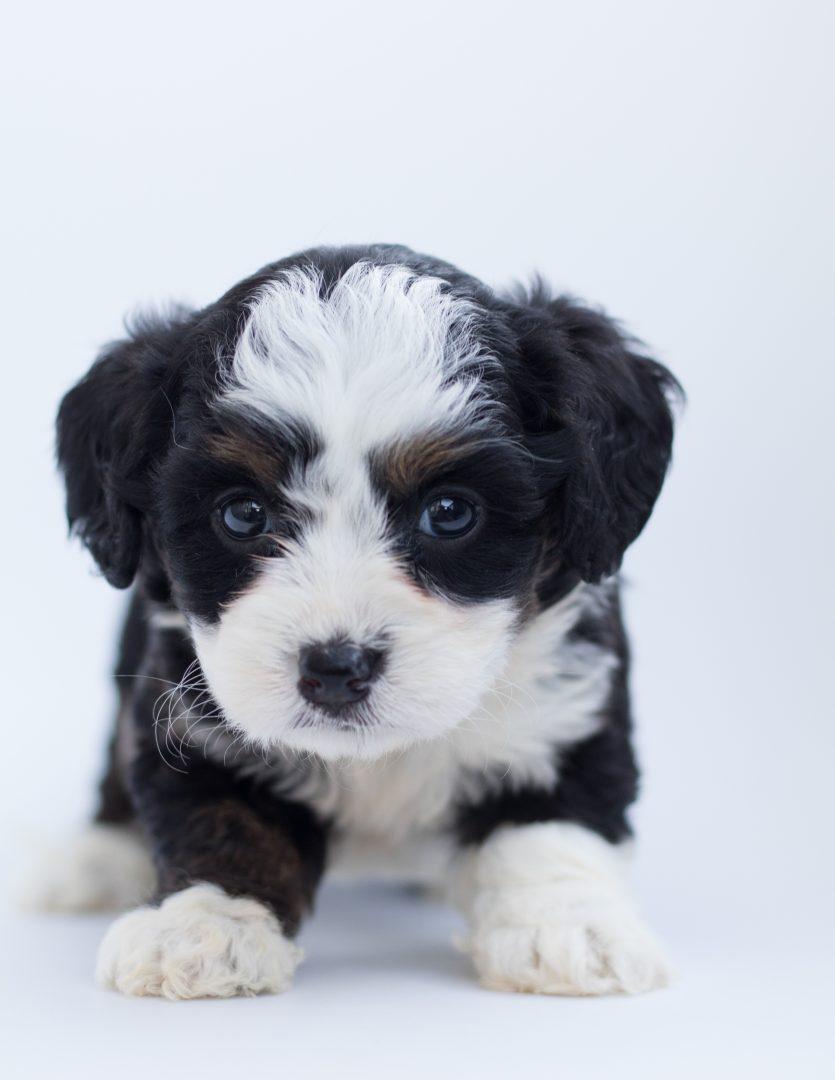 Puppy Visits - Puppy Sitting Chicago
